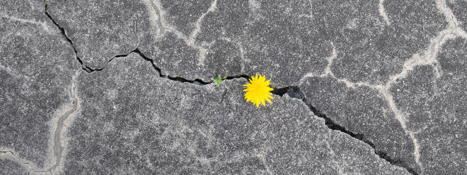 yellow flower growing in crack in concrete
