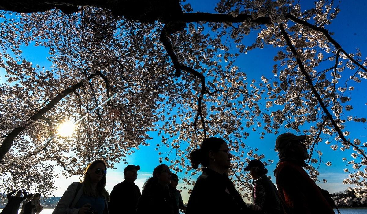 Students at cherry blossoms